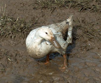 muddy duck